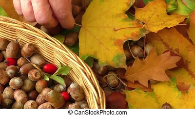 Autumn - chestnuts, acor - Autumn background - chestnuts,...