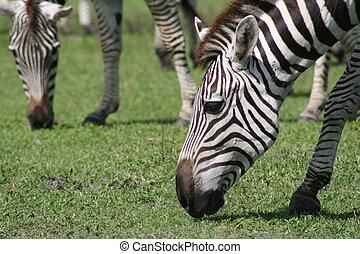 mn - zebra