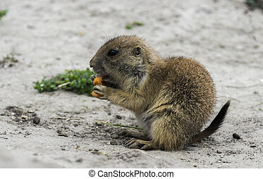 Cynomys or prariedog eating carrot - young prairiedog or...