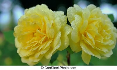 Two yellow roses in drops of rain