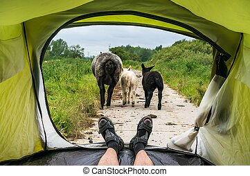 View from inside a tent on the sheeps and dirty road