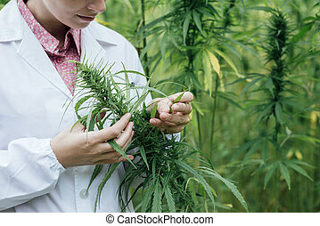 Scientist checking hemp flowers - Female scientist in a hemp...
