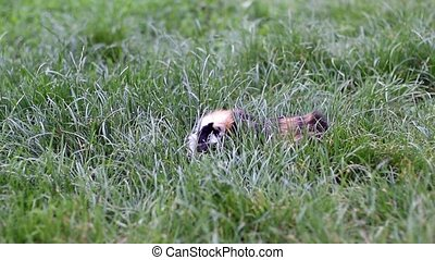 Guinea pigs in the grass - Spotted guinea pig sitting in the...