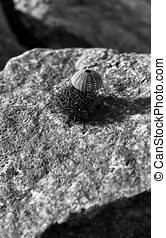 Vertical black and white sea urchin on stone shell...