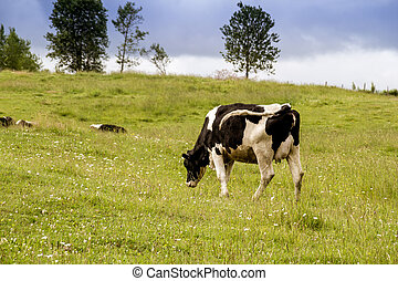 Holstein cows in the pasture landscape cloudy day Quebec...