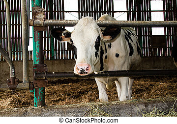Holstein cattle in the barn