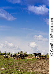 Holstein cows in the pasture against blue sky