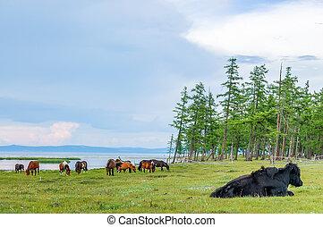 Grazing horses & yak, northern Mongolia - Grazing horses &...