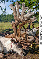 Tethered reindeer in northern Mongolia - Tethered reindeer...