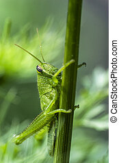 Green Salt Marsh Grasshopper macro - Macro photo of a young...