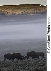 Bisons in the mid of fog - Bison in the mid of fog at...