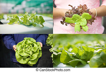 Close up of hydroponic vegetables in shallow depth of field...