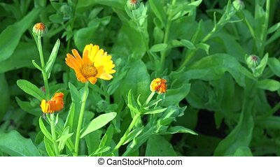 Marigold Calendula officinalis . Herb flower blooms move in wind. 4K