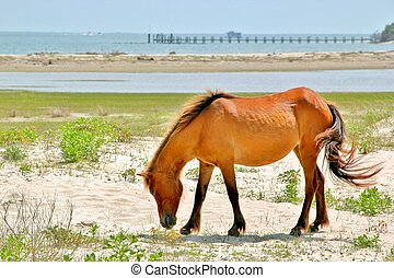 Wild horses grazing on the Outer Banks