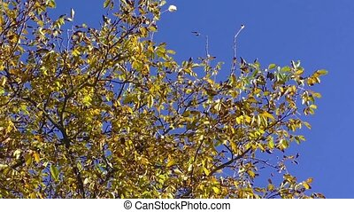 Walnut tree in autumn colors