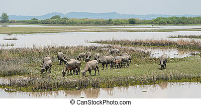Herd of water buffalo in wetland - Herd of water buffalo in...