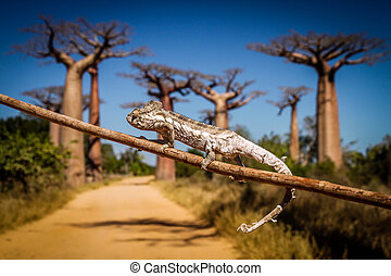 Chameleon and baobabs - Small chameleon on a branch in...