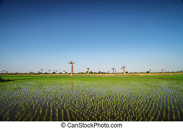 Baobabs and ricefields - Ricefield and baobabs in Avenida de...