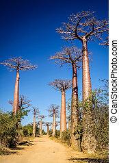 Avenida de Baobab - Famous Avenida de Baobab near Morondava...