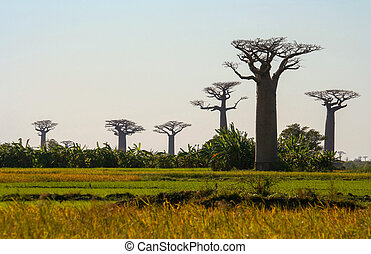 Baobabs - Group of baobabs near Morondava in Madagascar