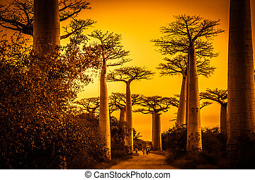 Avenida de Baobab at sunset - Sunset in the famous Avenida...
