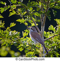 Female of red backed shrike song bird perched on a twig