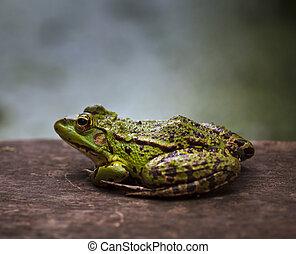 Green frog outdoor