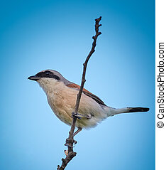 Red backed shrike perched on a twig against blue sky