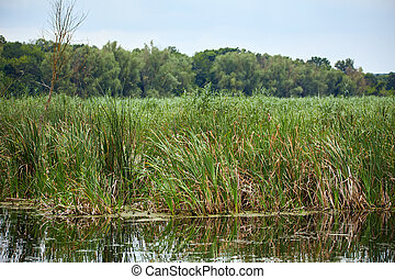 Reeds by the lake - Landscape with reeds and lake in the...
