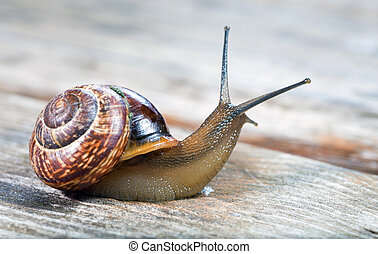 Small garden snail - Small snail crawling on an old wooden...