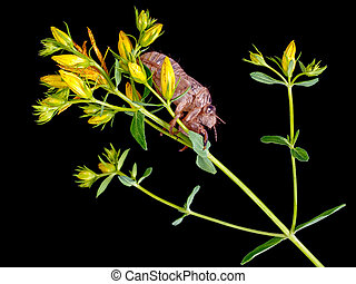 Cicada exoskeleton. Studio isolated on black. - Great...
