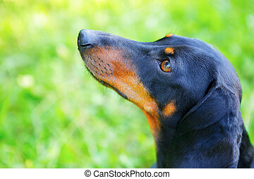 Portrait of black and red dachshund closeup. Look up