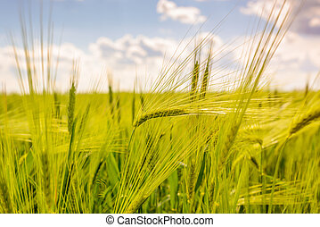 Close up of fresh young green wheat