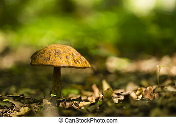 Lonley small mushroom in the forest