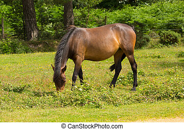 Wild pony New Forest Hants England