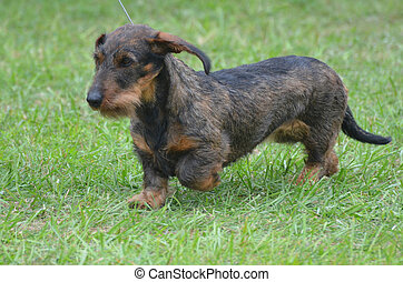 Beautiful Wire Haired Dachshund Dog - Really cute wire...