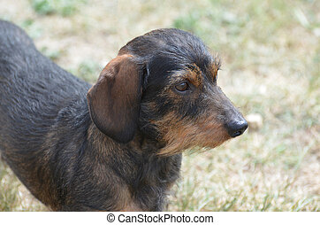 Profile of a Wire Hair Dachshund - Cute profile of the face...