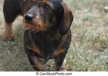 Face of a Wire Haired Dachshund Dog - Cute scruffy face of a...