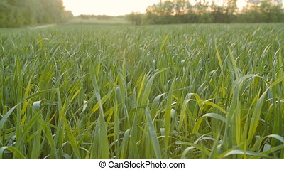 Cultivated field of young green wheat in the morning.