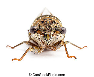 Cicada isolated on white front view
