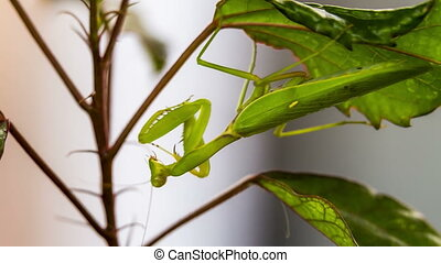 Mantis is waiting for prey. Shooting in RAW format