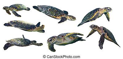 sea turtle set - set of isolated sea turtles on white...