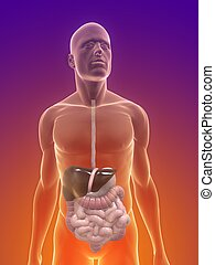 human digestive system - 3d rendered illustration of male...