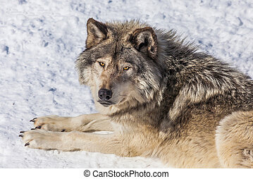Gray Wolf in the Snow Looking up - Close-up of a gray wolf,...