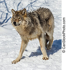 Gray Wolf in the Snow - Close-up of a gray wolf, in the...