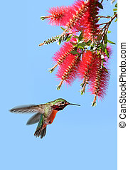Hummingbird with Bottlebrush flower over blue sky -...