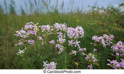 Flowers lilac flower in the field