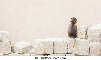 Baby baboon sitting on the rocks all alone