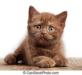 portrait of brown british kitten - portrait of brown british...