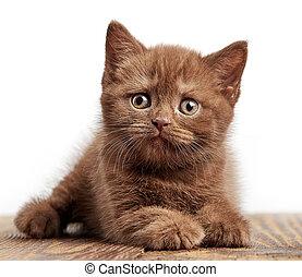 portrait of brown british kitten - portrait of brown british...
